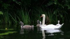 Morning Walk (endresárvári) Tags: swan swans swanfamily hungary dunasziget backwater nature bird birds blackwater