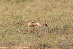 Black-footed Ferret takes on a Prairie Dog