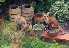 Redhill Garden - Aug 2018 - Bill & Ben (The Flower Pot Men) (Gareth1953 All Right Now) Tags: redhill garden wildlifecentre flowerpots pond cubs chimneypots green watching pigeons pair fox foxes siblings alert sitting earspricked surrey