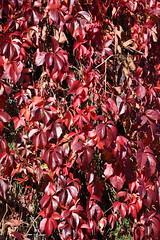 DSC_1901 (PeaTJay) Tags: nikond750 reading lowerearley berkshire gardens outdoors nature flora fauna plants flowers trees shrubs bushes foliage