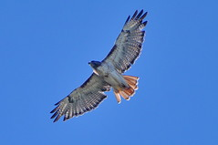 Red Tailed Hawk (jimculp@live.com / ProRallyPix) Tags: hawk redtail olympia