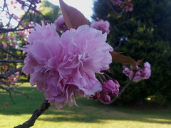 Cherry blossom (WeFive5) Tags: cherry ornamentalcherry prunus melbourneaustralia fitzroygardens horticulture pink kwanzancherry prunusserrulata