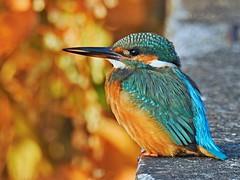 Zimorodek zwyczajny (Alcedo atthis) / kingfisher (Adam Żabiński) Tags: zimorodek kingfisher ptakiptaszki birds natura nature adamzphotography