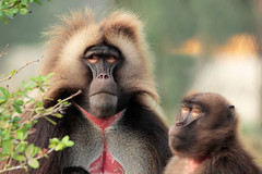 Mr. and Mrs. Gelada (K.Verhulst) Tags: gelada bleedingheartmonkey apen monkeys blijdorp blijdorpzoo diergaardeblijdorp rotterdam baboon baviaan