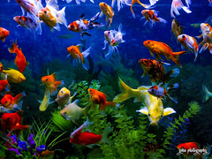 Life in a Fish Tank (shamahzoha) Tags: fish fishes aquarium water blue deep colorful colors decorations green plastic foliage floating swimming beauty beautiful aquatic mobilephotography vibrant sharp punchy