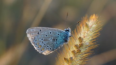Dernier rayon de soleil... (passionpapillon) Tags: macro papillon butterfly insecte herbe soleil passionpapillon 2018