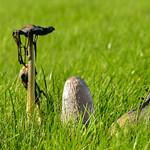 Shaggy ink cap, Coprinus comatus in grass thumbnail