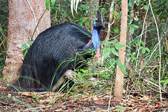 Rainforest rest (aussiegypsy_Katherine NT) Tags: cassowary casso wondecla mrmarch wild wildlife bird birdlife birdwatcherscabin athertontablelands cairnshighlands forest mthypipamee upper body beak lookingatcamera australia australian aussie aussiegypsy lorraineharris queensland qld fnq farnorth northern exotic tnq tropics tropical large very black plumage casque southern endangered uncommon casuariuscasuarius flightless adult male nature outdoors sitting down frontview fullybody