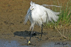 LITTLE  EGRET //  EGRETTA  GARZETTA (55-65cm) (tom webzell) Tags: naturethroughthelens