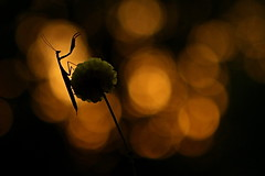 Mante dans les phares ! - Mantis in the lighthouses! (Marc Souques) Tags: macro proxi mante mantis nature fleur flower bokeh religieuse wildlife lumière light orange flare flares