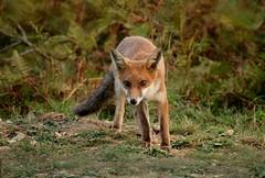 Young Fox (farrertracy) Tags: fox forest red green brown dusk dorset vulpesvulpes woodland heathland black mammal leaves redfox youngfox