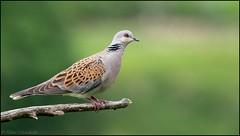 Tourterelle des bois / European Turtle Dove (denismichaluszko) Tags: tourterelle des bois european turtle dove bokeh couleurs bird oiseau birdlife nature wildlife