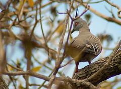 pigeons doves-02 (Captain Hadoc) Tags: bird birds australia wild wildlife farm pigeonsdoves pigeons