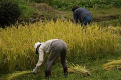 Harvesters (yukky89_yamashita) Tags: 美山町 京都 収穫 稲 kyoto miyama japan rice field harvester harvesting 南丹市 nantan