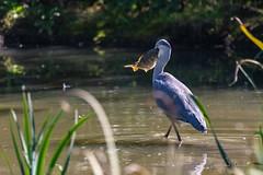 Il peut le faire !!! (denis.loyaux) Tags: ariège denisloyaux domainedesoiseaux héroncendré mazères nikondd850 nikonafs600f4vr france oiseau
