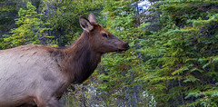 Saw Her Standing There (Vanessa wuz Here) Tags: 70mm wideangle elk wildlife fauna jaspernationalpark canadianrockies jasper alberta autumn brown green colours fall copyrightvanessabartosek