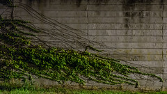 PN 169A_015010_Y (Darkly B) Tags: darklyb night street notte strada nightonearth light shadow industiallandscape ivy concrete wall green