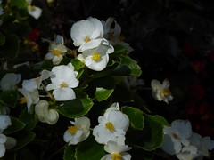 penombra fiorita (fotomie2009) Tags: flower flora fiore begonia white autunno autumn