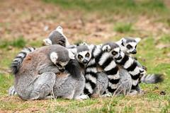 DSC_5539-Edit (TDG-77) Tags: nikon d850 tamron 150600mm vc lemur ring tailed animal wildlife