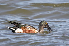 Northern Shoveler Male-7D2_9623-001 (cherrytree54) Tags: duck rspb dungeness canon sigma 150600 7d