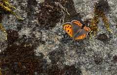 Small Copper (steve whiteley) Tags: butterfly insect smallcopper lycaenaphlaeas lepidoptera