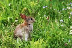 Young Rabbit (robin denton) Tags: rabbit animal wildlife nature