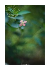 2018/9/14 - 14/15 photo by shin ikegami. - SONY ILCE‑7M2 / Lomography New Jupiter 3+ 1.5/50 L39/M (shin ikegami) Tags: 紫陽花 flower 花 macro マクロ 井の頭公園 吉祥寺 autumn 秋 sony ilce7m2 sonyilce7m2 a7ii 50mm lomography lomoartlens newjupiter3 tokyo sonycamera photo photographer 単焦点 iso800 ndfilter light shadow 自然 nature 玉ボケ bokeh depthoffield naturephotography art photography japan earth asia