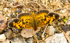 7K8A7605 (rpealit) Tags: scenery wildlife nature weldon brook management area pearl crescent butterfly
