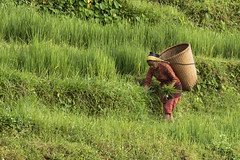 Nepalese Woman Farming (Sharpshooter Alex) Tags: nepal asia travel woman female farming agriculture harvest nepalese countryside green grass basket