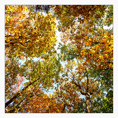 _autumn_colours (fot_oKraM) Tags: tree leaves laub laubbaum herbst fall autumn wald forest woods nrw muensterland nature natur