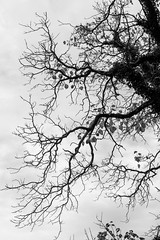 Tentacle (DL Rohrer) Tags: bw blackwhite blackandwhite xt1 xf35mmf2rwr black branch branches fuji fujifilm tentacle tree white