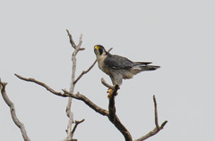 7K8A8239 (rpealit) Tags: scenery wildlife nature state line lookout peregrine falcon bird