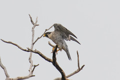 7K8A8238 (rpealit) Tags: scenery wildlife nature state line lookout peregrine falcon bird