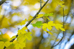 Resistance (Baubec Izzet) Tags: baubecizzet pentax bokeh leaves autumn nature yellow green