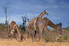 The Three Amigos (ToriAndrewsPhotography) Tags: tower giraffes water hole drinking sun south africa nysvley photography andrews tori reserve nature wildlife safari