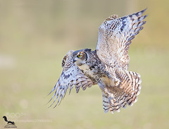 Fly (KevinBJensen) Tags: gufo della virginia great horned owl bubo virginaus grandduc dmérique animal animals bird birds nature wild wildlife greathornedowl bubovirginaus grandducd'amérique gufodellavirginia pavia italia