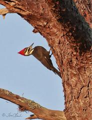 Pileated Woodpecker (female) (TomLamb47) Tags: nature wildlife bird piwo pileated woodpecker tree preserve fruitland park florida fl canon 1d4 100400mm