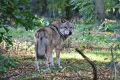 see you (Hugo von Schreck) Tags: hugovonschreck wolf animal tamron28300mmf3563divcpzda010 canoneos5dsr