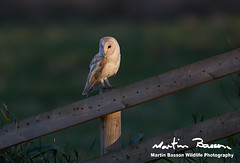 Barn Owl (www.Martin Basson Wildlife Photography.co.uk) Tags: barnowl birds owls birdsofprey marshes norfolk dusk