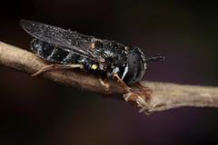 Paragus pecchiolii f - 08 X 2018 (el.gritche) Tags: france 40 garden diptera syrphidae paragus pecchiolii paraguspecchiolii female sleeping