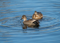 gadwall 171h_145 (Baffledmostly) Tags: birds ladywalknr themes gadwall reflections