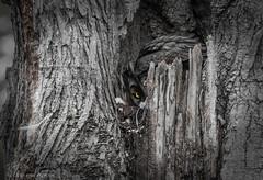 Great Horned Owl. Happy Halloween 2018. (Estrada77) Tags: greathornedowl owl raptors birds birding birdsofprey distinguishedraptors wildlife outdoors animals kanecounty nikon nikond500200500mm nature
