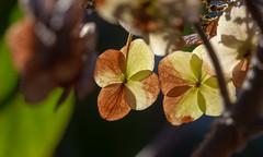 Hydrangea... (Rainer Fritz) Tags: hortensie hydrangea natur gegenlicht backlight