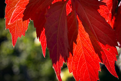 Red light (Oleg Peresvet) Tags: autumn nature parthenocissus canon 6d sigma 50mm 14 art fall red leaf contrejour macro