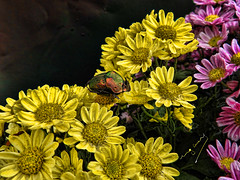 if the flowers could tell you that I'm in love with you (ingcuevas) Tags: escarabajo colores flower tender love romance pretty beautiful nature petals yellow green small cute life bright vibrant amazing natura pink soe