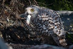 Snowy owl with prey (Cloudtail the Snow Leopard) Tags: schneeeule tier animal vogel bird eule scandiacus buboscandiaca nyctea snowy owl zoo stadtgarten karlsruhe