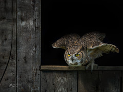 Great Horned Owl preparing to launch (Chris St. Michael) Tags: owl greathornedowl birdofprey bird birdinflight nature naturephotography wildlife wildlifephotography animal action