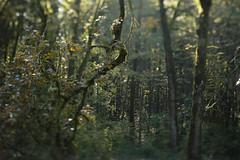 Mount Talbert (Tony Pulokas) Tags: oregon portland mttalbert mounttalbertnaturepark bokeh blur mounttalbert tilt tree forest oak oregonoak autumn fall maple bigleafmaple moss