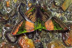 Emerald green metalmark Caria mantinea lampeto (Lepidoptera:Riodinidae) (luismiguel.constantino1) Tags: mariposa riodinidae lepidoptera butterfly colombia southamerica rainforest andes