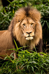Looking at You 3-0 F LR 10-7-18 J146 (sunspotimages) Tags: animal animals nature wildlife lion lions malelion malelions zoos zoosofnorthamerica zoo nationalzoo fonz fonz2018